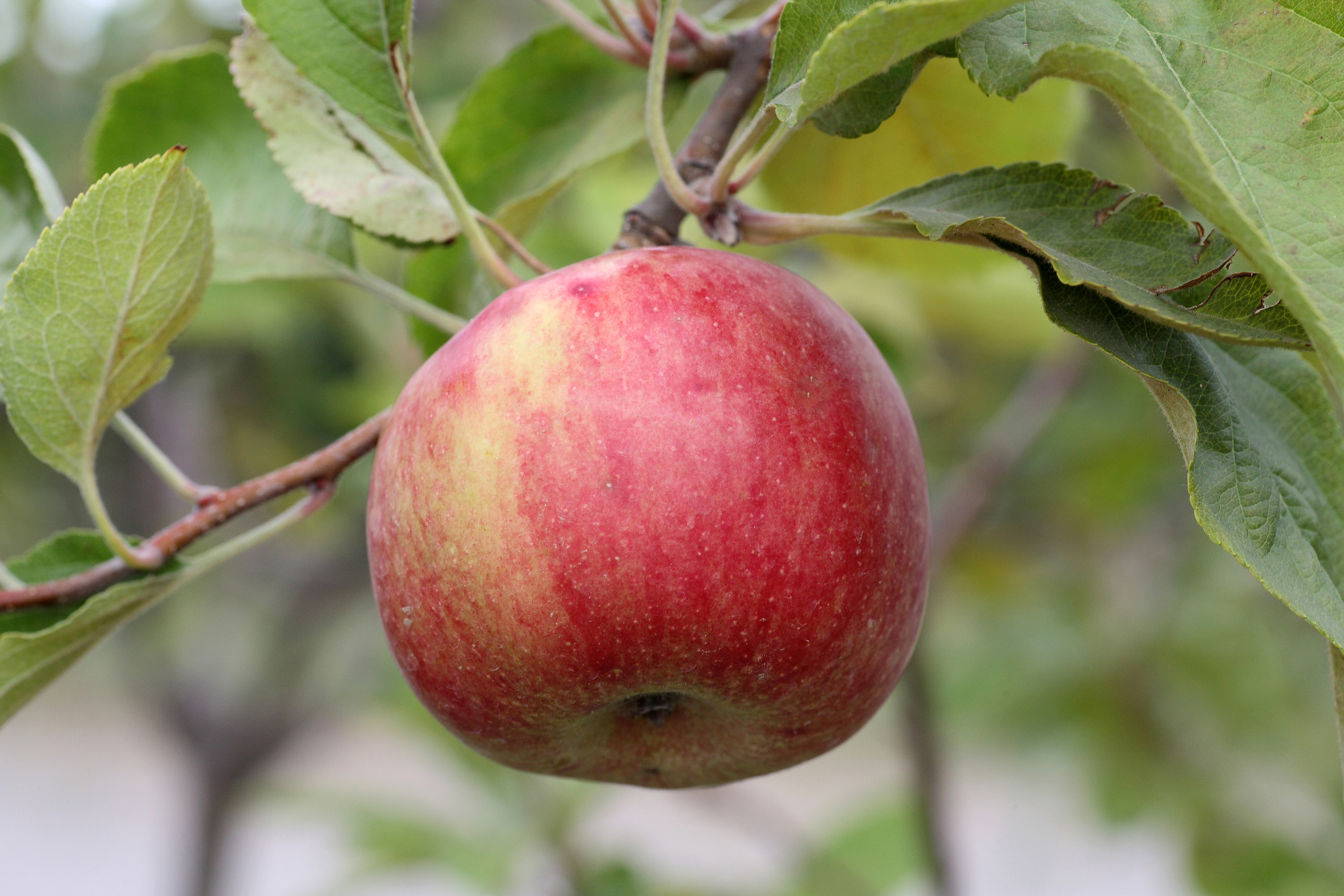 Pyrus Malus (Apple) Fruit Extract; Apfelextrakt