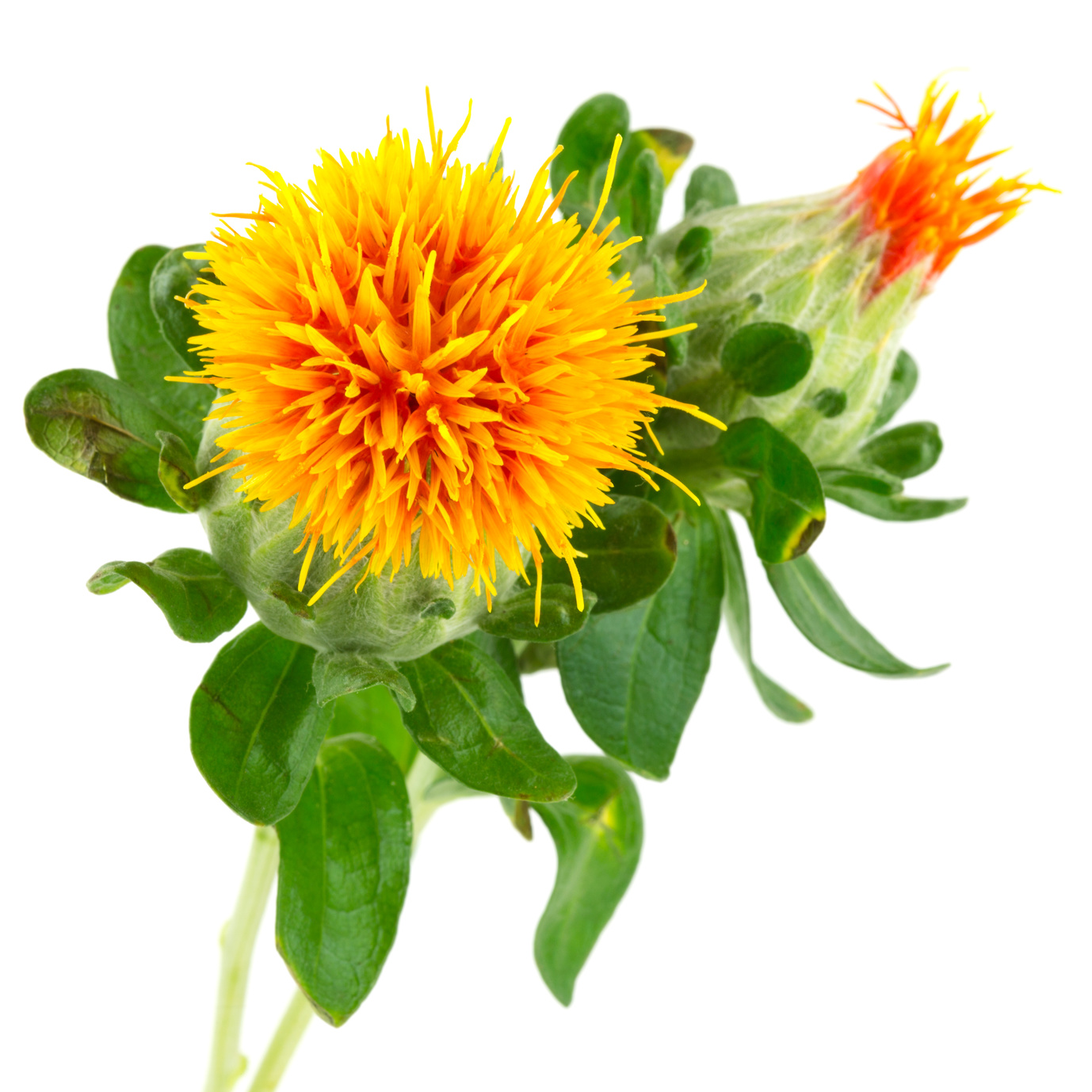 Distelöl,Carthamus Tinctorius (Safflower) Seed Oil