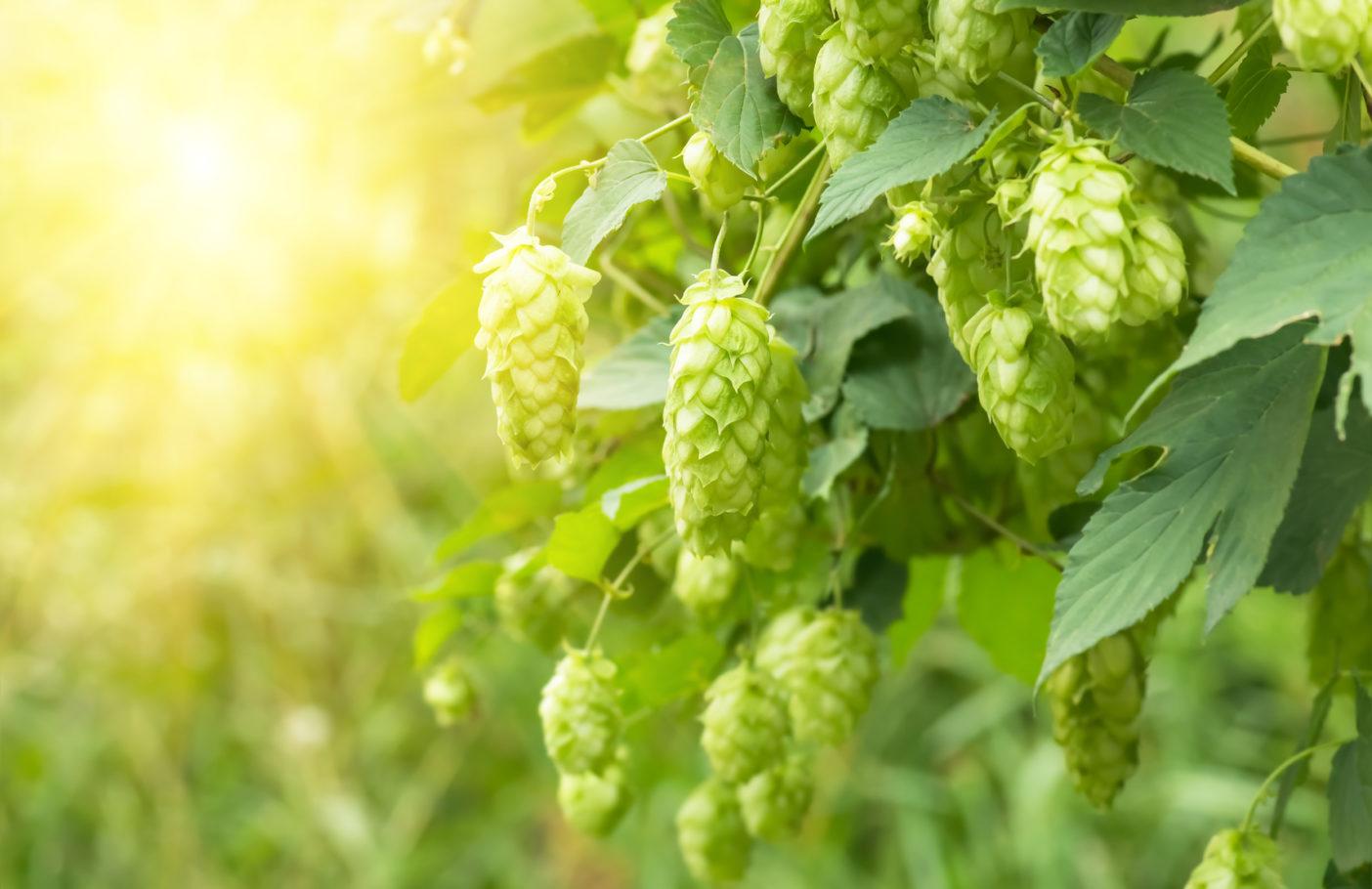 Hopfenextrakt; Hopfen; Humulus Lupulus (Hops) Extract