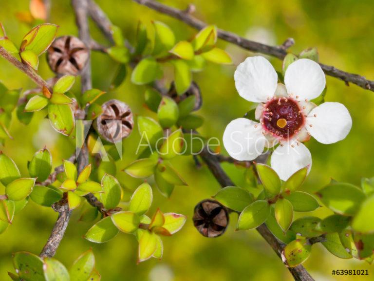Manukaöl; Manukahonig; Leptospermum scoparium branch/leaf oil