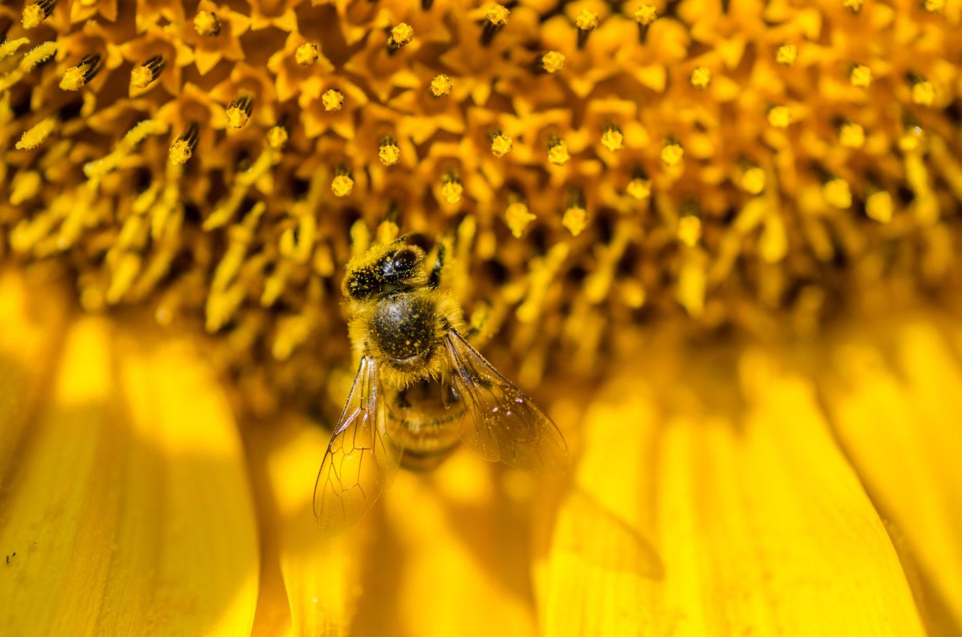 Bienengift - Melittin - Apitoxin - Botoxalternative