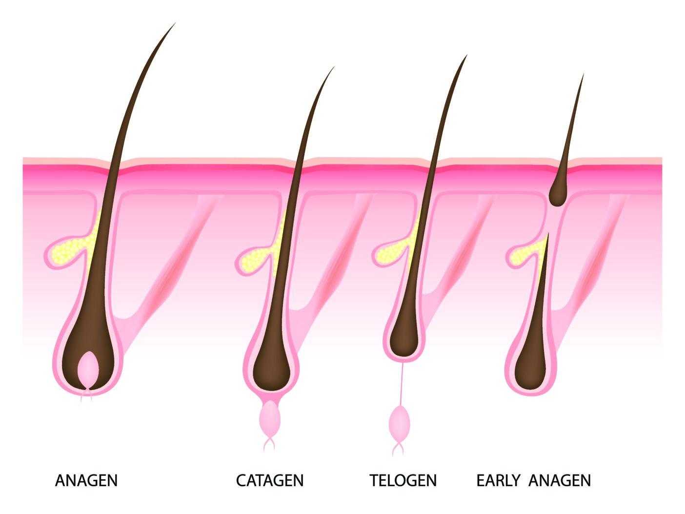 Wachstum der Haare, Telogen, Anagen