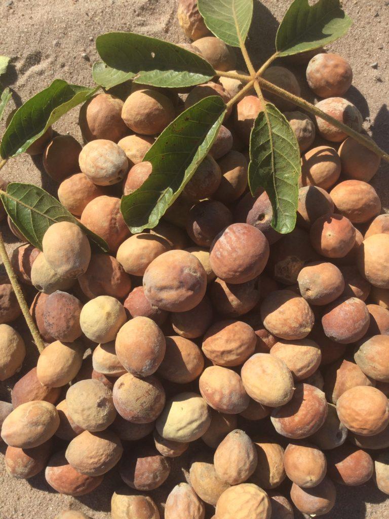 Schinziophyton Rautaneii Seed Oil, Manketti-Öl