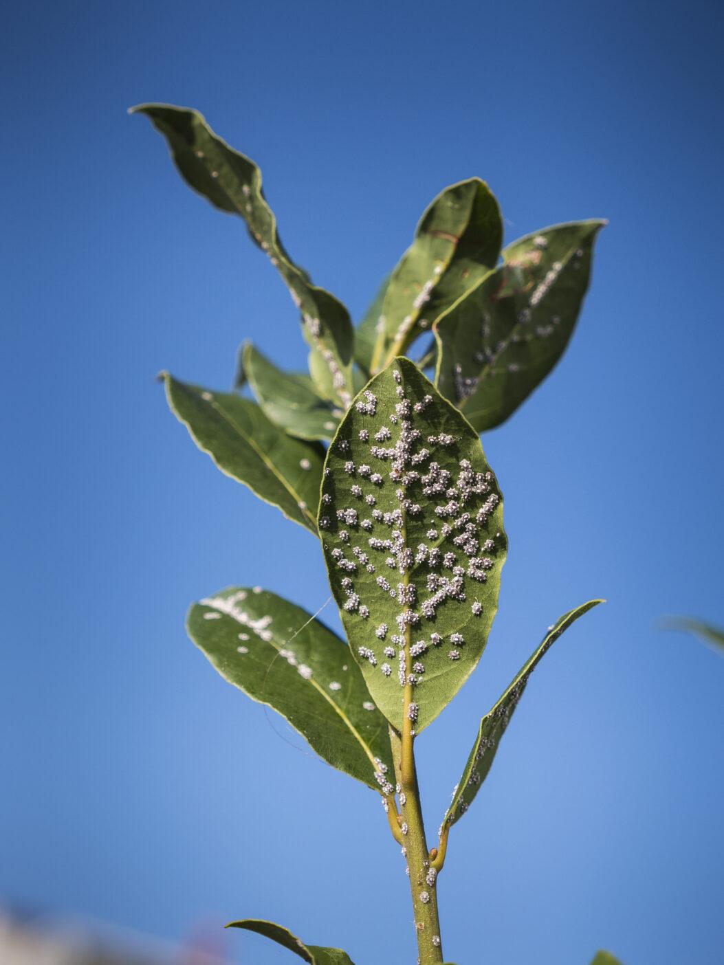 Myrica Pubescens Fruit Wax