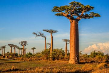 Baobab Öl - Adansonia Digitata Seed Oil