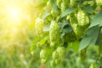 Hops extract, Humulus Lupulus (Hops) Extract