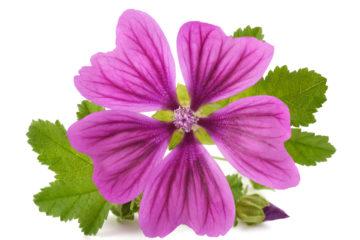 Malve,Malva Sylvestris (Mallow) Flower Extract