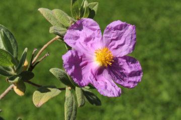 Zistrosenextrakt - Cistus Incanus Flower/Leaf/Stem Extract - 8016-26-0